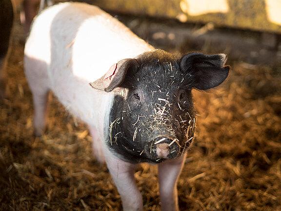 Speck-Alm-Schwein.jpg